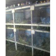 Разведение кроликов породы Фландер, советская шиншила и Серый великан фото