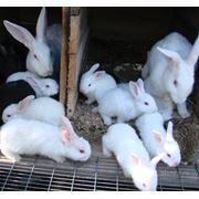 Консультации по разведению кроликов фото