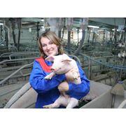 Забой свиней украина херсон фото