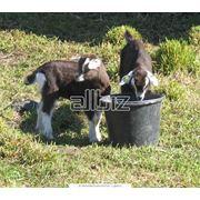 Селекция коз фото
