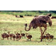 Разведение страусов фото