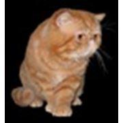 Продажа экзотических короткошерстных котят фото