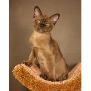 Бурманские котята (бурма) Европейского типа от Чемпиона МИРА и Чемпиона Европы фото
