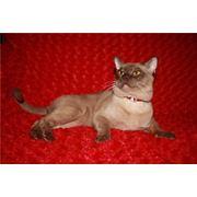Вязка котов. Бурманский кот на вязку. фото