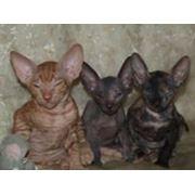 Коты, кошки, котята Сфинксы, Петербургский сфинкс - петерболд, кошки без шерсти, купить в Украине, купить в Мариуполе, кошки безшерстные фото