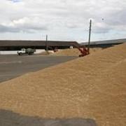 Приемка зерновых культур фото