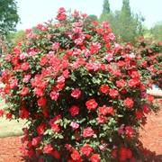 Кусты розы фото