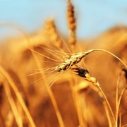 Пшеница 5 класса оптом. Новый урожай. фото