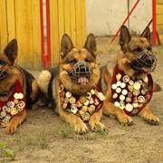 Подготовка собаки дрессировщиком фото