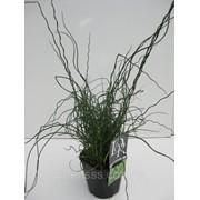 Ситник развесистый «спиралис» -- Juncus spiralis фото