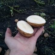 Картошка от 7 руб. фото