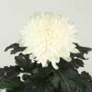 Хризантема Regina фото