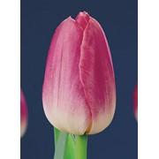 Луковицы тюльпанов - сорт Dynasty 12+ фото
