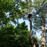 Валка сложных деревьев фото