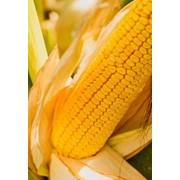 Семена кукурузы Мас 47.П (MAS 47.P) (Украина) фото