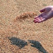 Пшеница фуражная на Экспорт Молдова фото