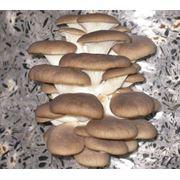 Производство грибов (вешенка). Поставка свежего гриба сетям реализации (магазины супермаркеты) и переработчикам фото