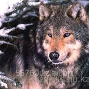 Картина стразами Волк - 40х50см фото