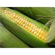 Заготовка кукурузы фото