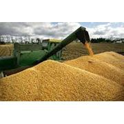 Заготовка сушка хранение калибровка кукурузы фото