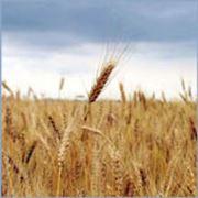 Переработка зерна гречихи и пшеницы в Украине фото
