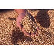 Переработка зерна гречихи на крупу фото