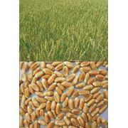 Выведение новых сортов пшеницы ячменя кукурузы сои гороха. фото