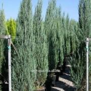 Можжевельник Juniperus scopulorum Skyrocket фото