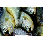 Рыбопереработка Рыбный промысел Каховское водохранилище  р. Днепр фото