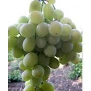 Виноград, столовый сорт Агадаи фото