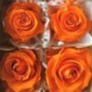 Роза Стандарт 6гол. оранжевый фото