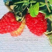 Саженцы малины Алёнушка фото