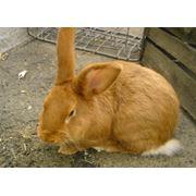 Вакцинация кроликов г.Вознесенск фото