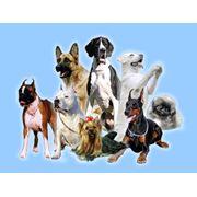 """Чипирование собак и щенков по самым низким ценам в городе чипами фирмы Bayer и сканирование чипов -Севастопольское ТО КСУ """"Друг"""" фото"""