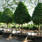 Дизайн: Посадка деревьев и кустарников, живые изгороди фото
