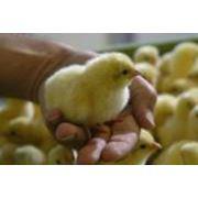 Прививки птиц фото