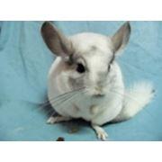 Услуги ветеринарные, консультации по уходу за шиншиллами фото
