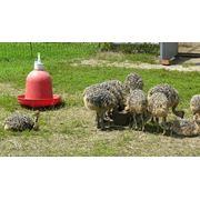 Подращивание молодняка страусов. фото