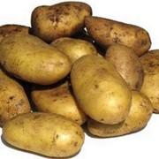 Картофель продовольственный Уладар фото
