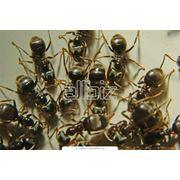 Уничтожение муравьев Киев фото