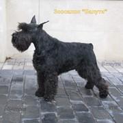 Тримминг жесткошерстных пород собак фото