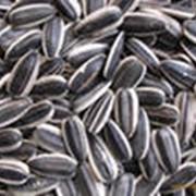 Семечки подсолнечника сорт Рейна К (Конфетка)-кондитерская крупная полосатая, калибр 8,0 и калибр 3,8 фото