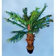 Пальма банановая декоративная фото