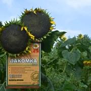 Семена подсолнечника сорт Лакомка  фото