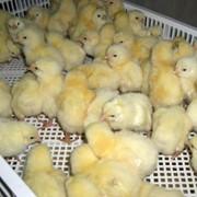 Цыплята суточные кросса ROSS308 фото