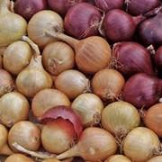 Семена лука фото