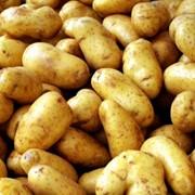 Продаем сверхранний картофель голландских сортов фото