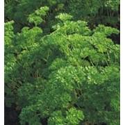 Семена петрушки кудрявой Калито F1 1 г. фото