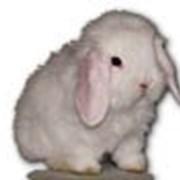 Кролики декоративные фото