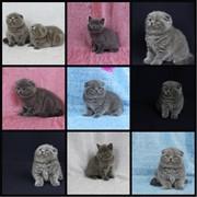 Котята скоттиштфолд и скоттиш страйт фото